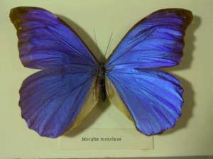 {Morpho Menelaus Butterfly photos by Beth Hedva}